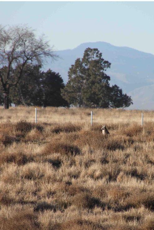 IMG_2472 coyote
