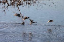 IMG_2667 ducks