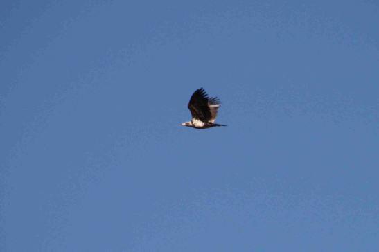 IMG_2671 mature bald eagle