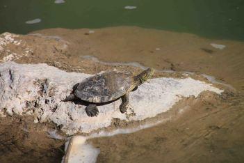IMG_2900 turtle