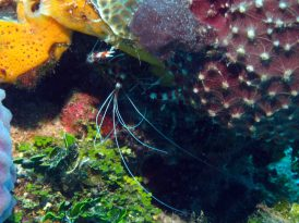 coral banded reef shrimp