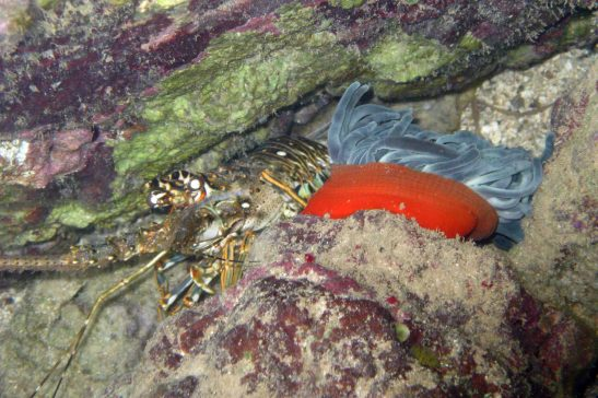 lobster and sea anemone