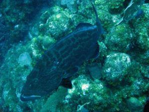 IMG_4008 grouper