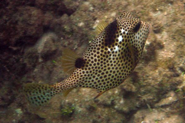 trunckfish