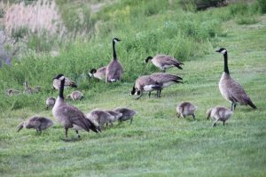 IMG_4157 geese