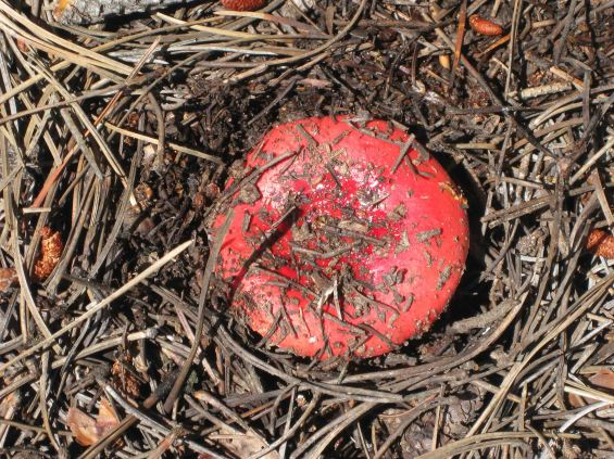 IMG_5468 red cap mush