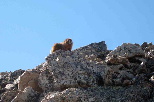 IMG_5570-1 marmot