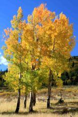 aspen on the colorado trail