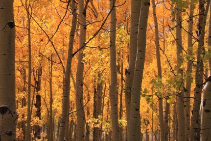 sea of gold aspen on the colorado trail
