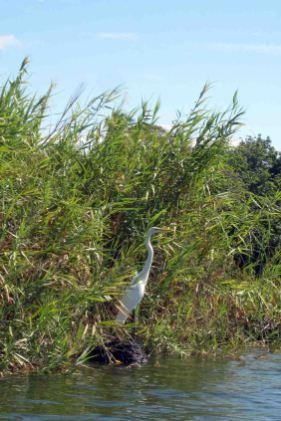 IMG_0093 egret