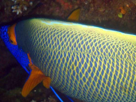 photo1430315034409 angelfish