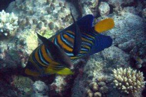 photo1430315215950 angel fish