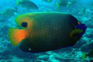 photo1430315305767 angelfish