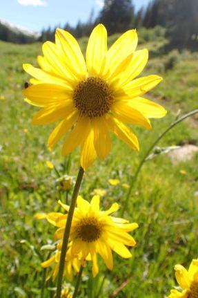 wildflowers on the colorado trail