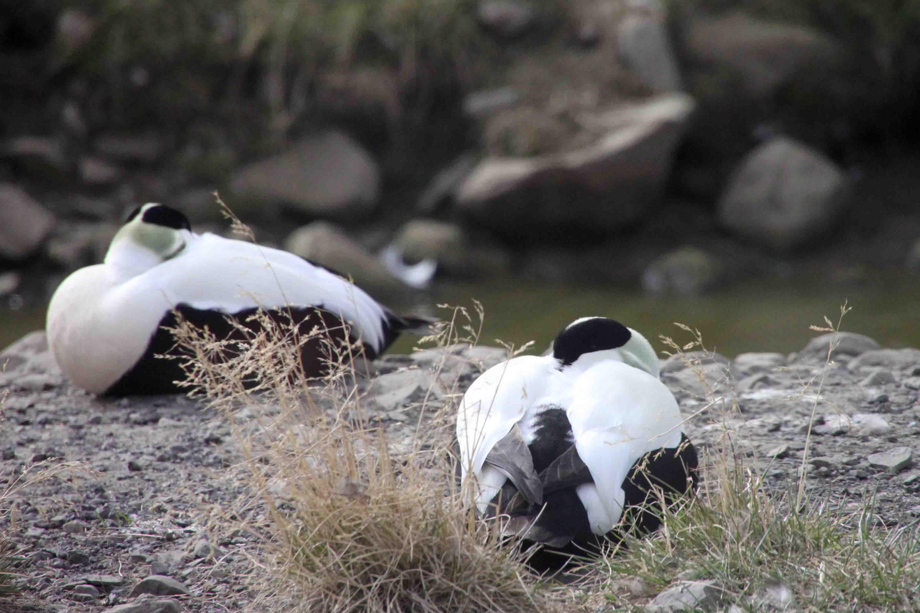 nesting eiders