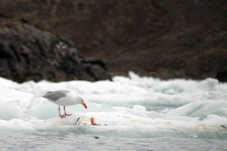 glaucous gull in the Arctic