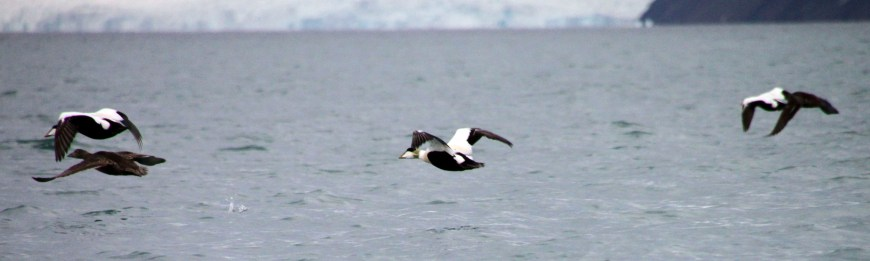 eider in the arctic