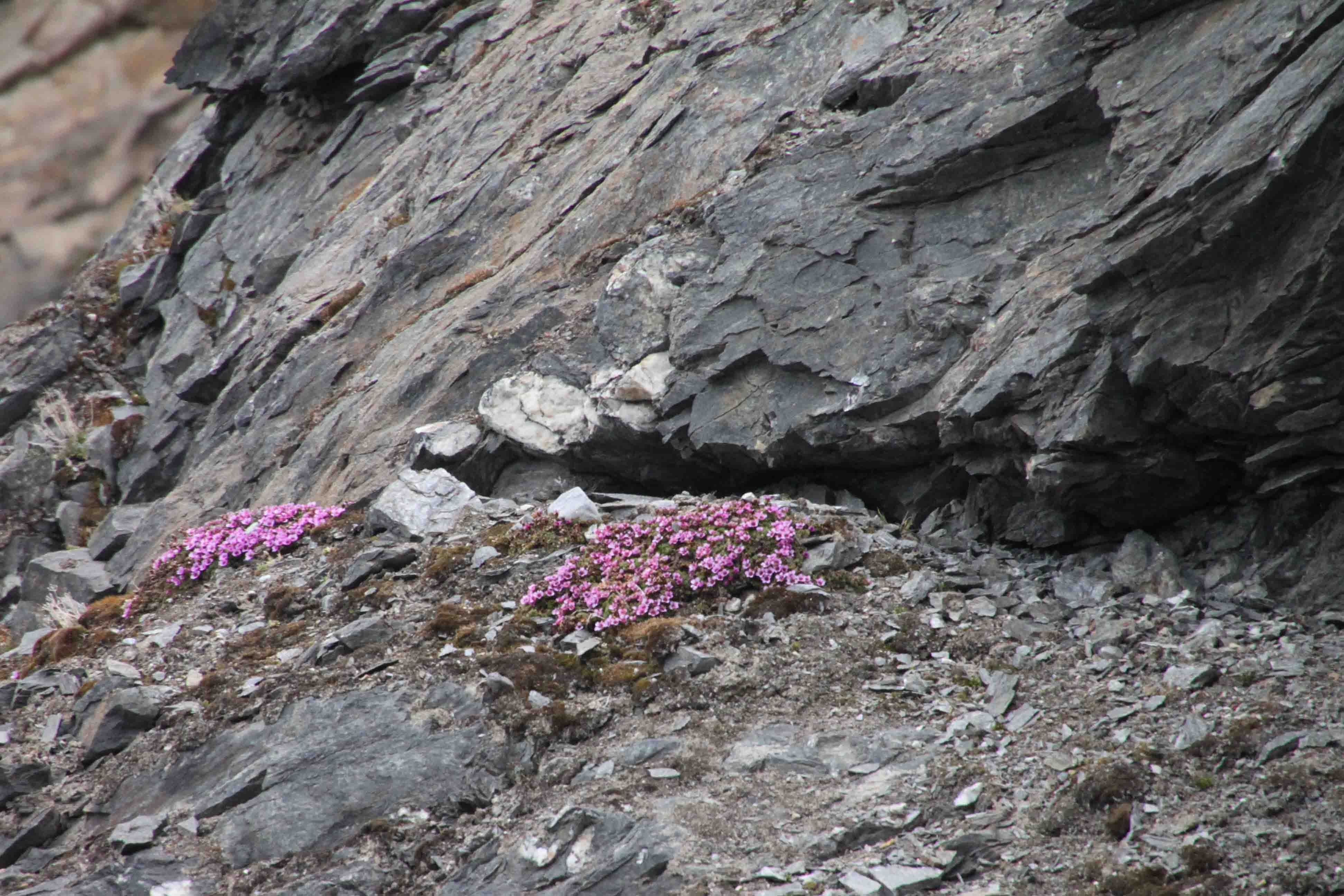 moss campion in the arctic