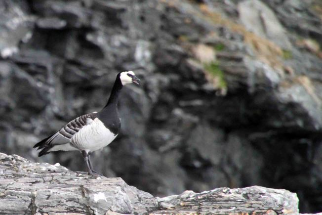 barnacle goose in the Arctic