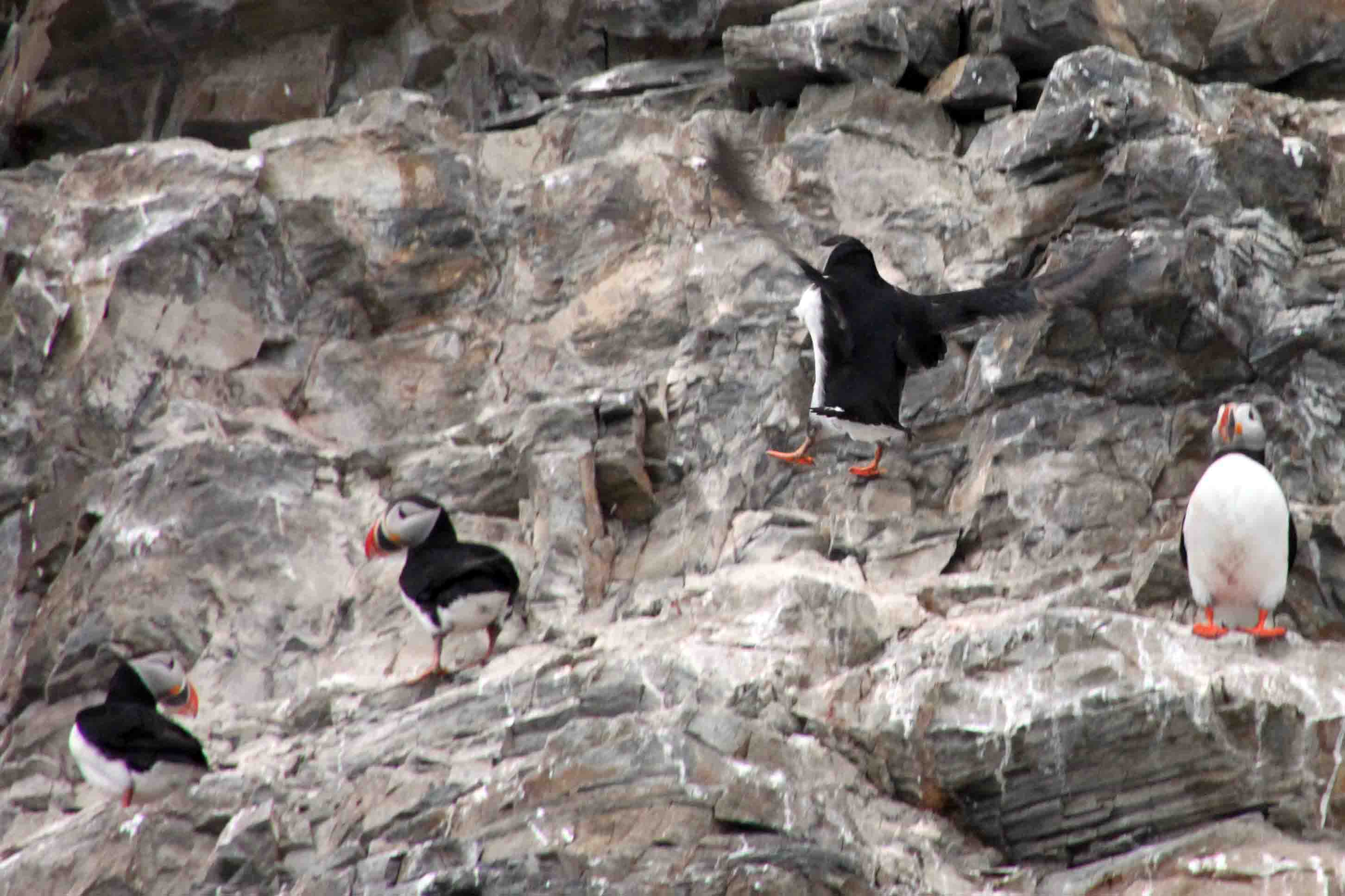 puffins on the sea cliffs in the arctic