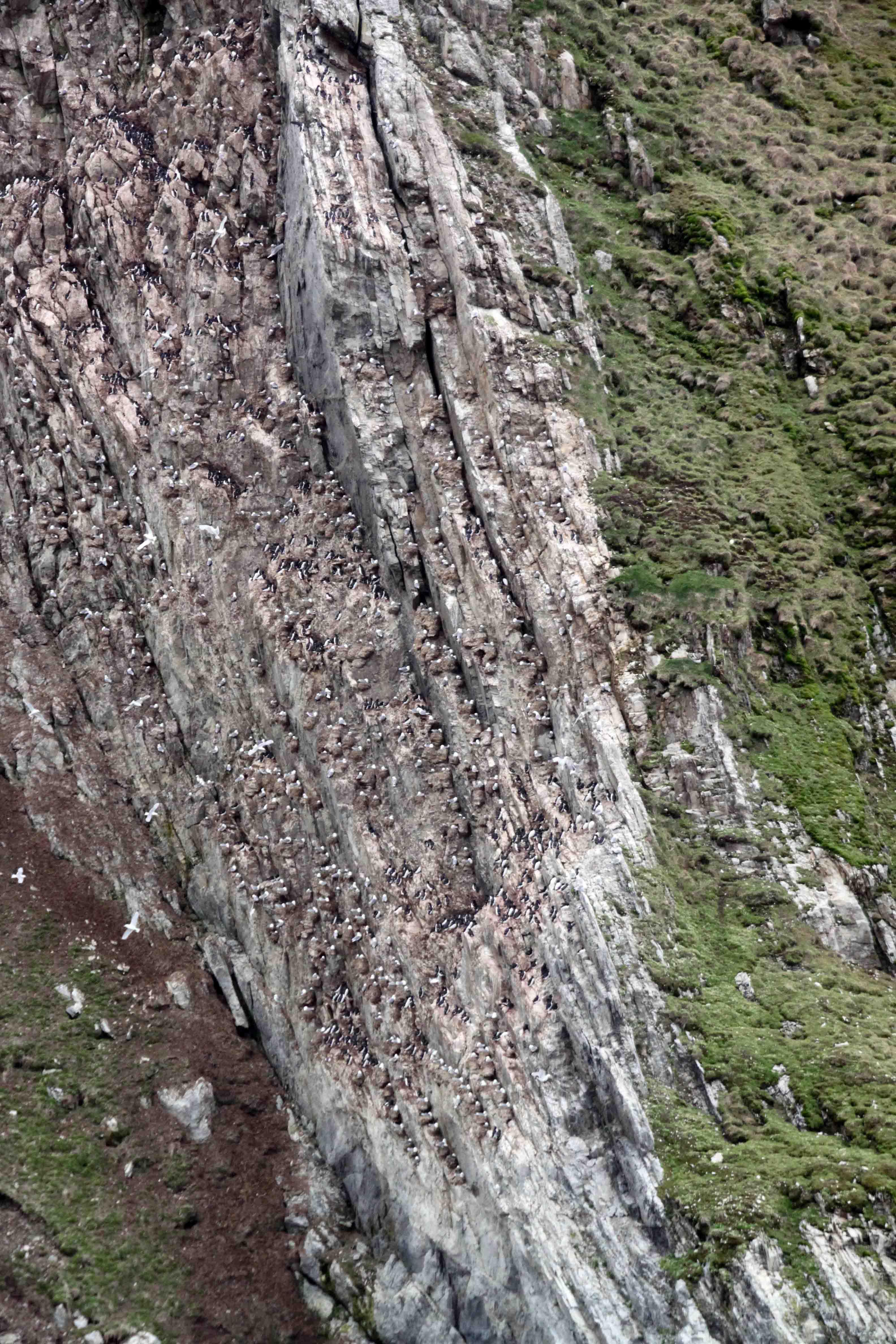 cliffside of guillemots in southwest spitsbergen