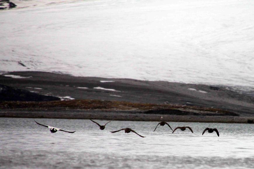 birds in southwest spitsbergen