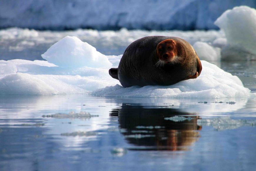 bearded seal at Monacobreen