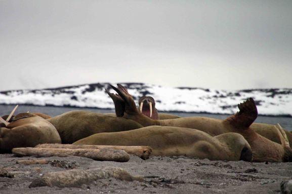 IMG_8732 walrus