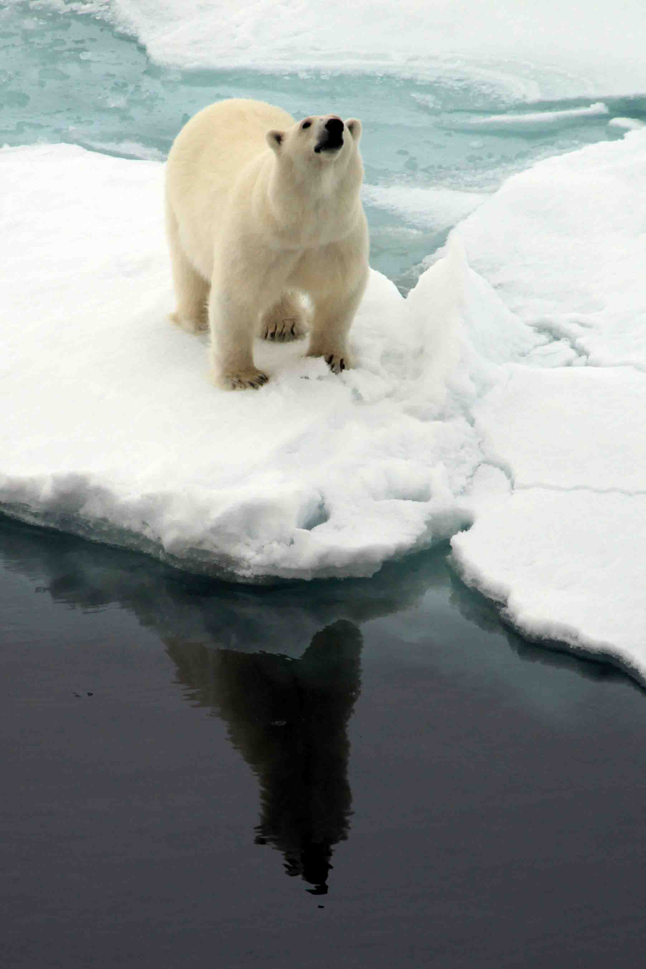 polar bear sniffing with its reflection in the water