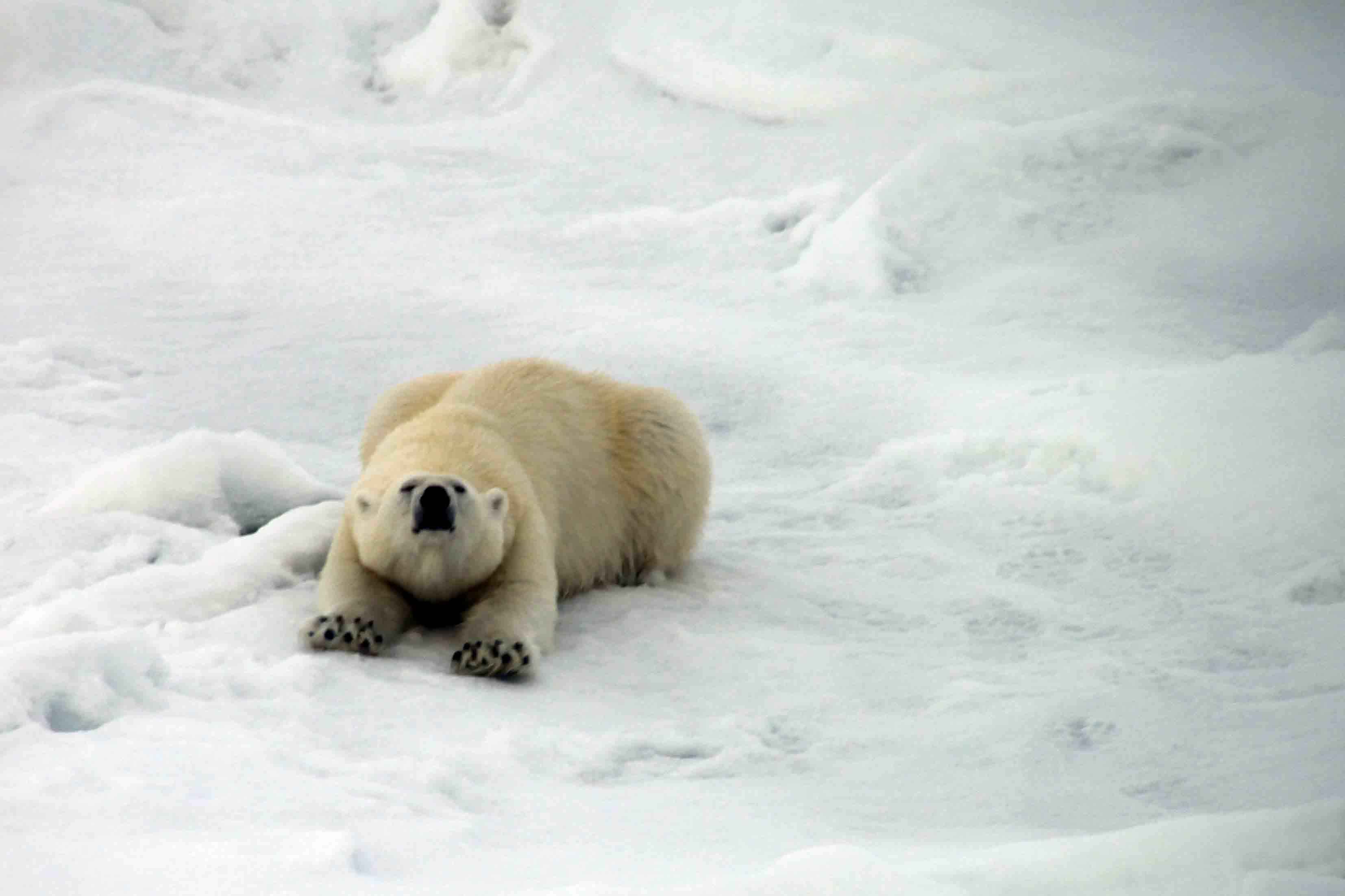 mama polar bear stretching
