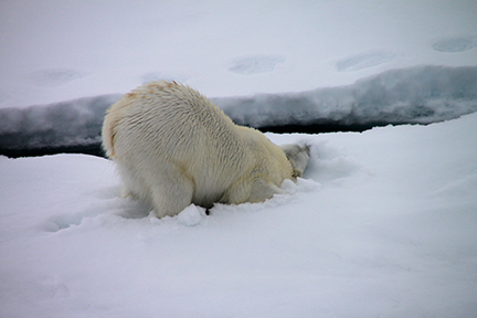 female polar bear rubbing its collar on ice