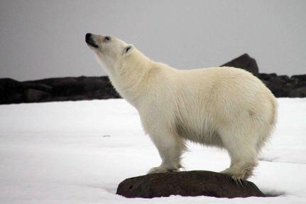IMG_9518 polar bear adventuresofacouchsurfer