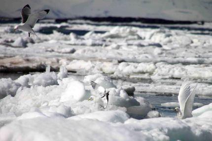 IMG_9754 ivory gull adventuresofacouchsurfer