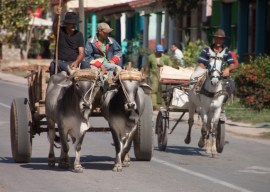 img_2135-oxen
