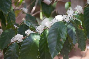 img_2173-coffee-plant