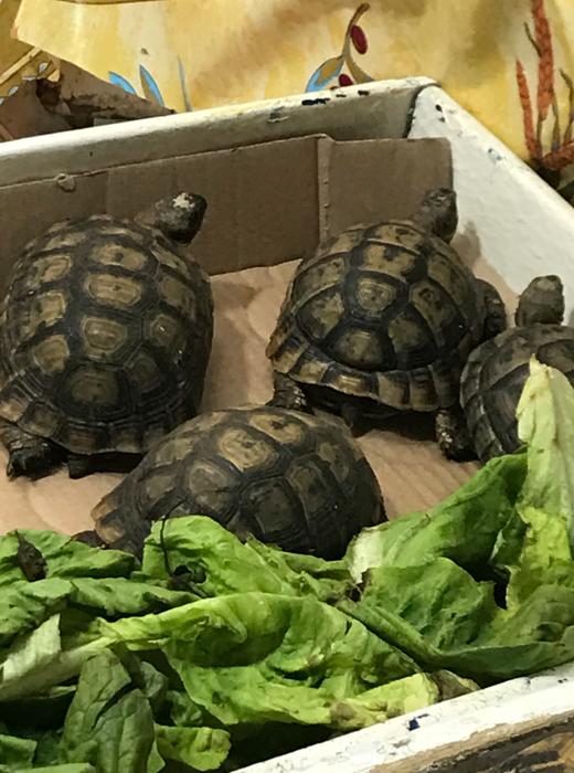 turtles at casablanca medina