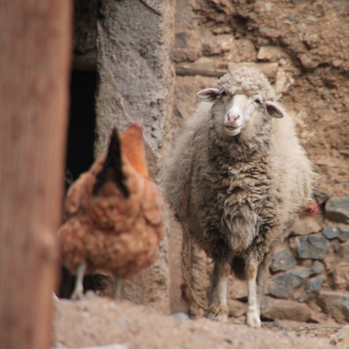 sheep and chicken in the high atlas mountains