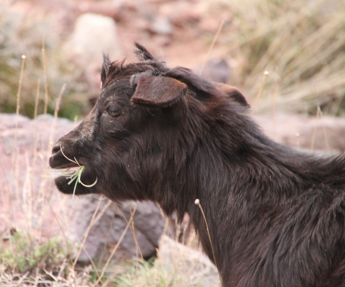 goat on tizi mzik trail