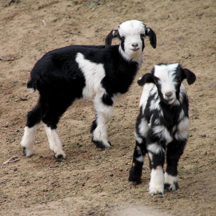 baby goats tizi mzik trail