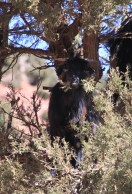 IMG_2752-goat