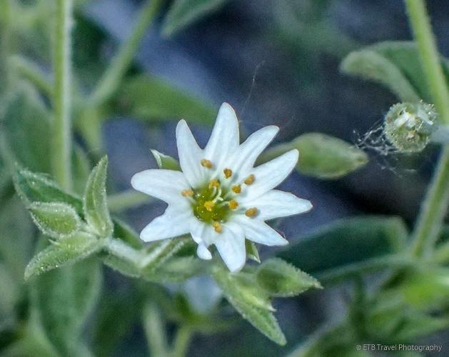 white flower on the mongolian steppe