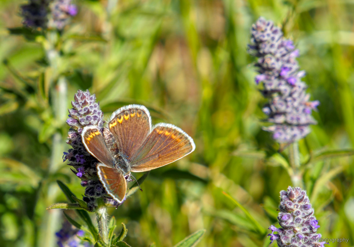butterfly on the mongolian steppe