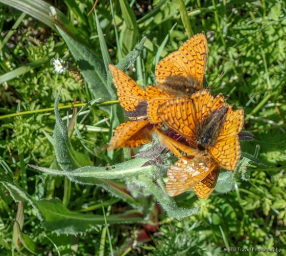 cluster of orange butterflies