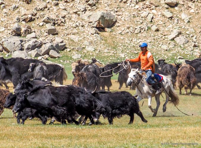 Mongolian cowboy roping a yak