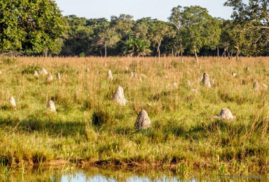 Food for the anteaters (termite mounds)