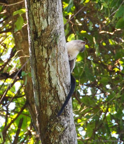 Callitrhix Pantanal Monkey