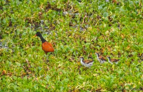 Jacana with its chicks (or Jesus Christ bird because it walks on water)