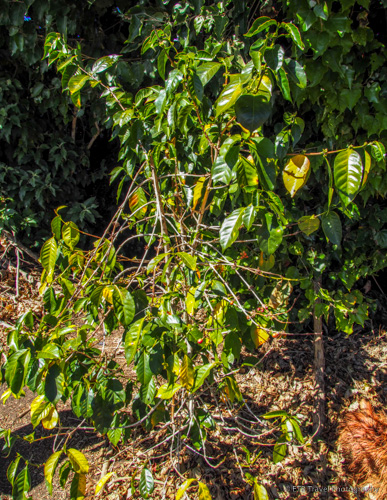geisha coffee plant in boquete