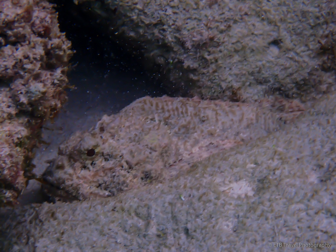 scorpionfish at Little Bay