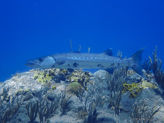 Barracuda in Saba